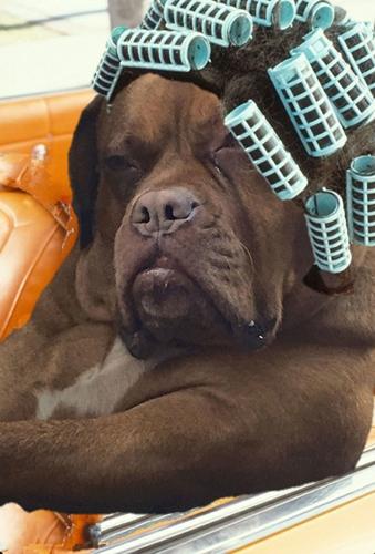 ฮาหนักมาก! เมื่อภาพน้องหมามาสทิฟฟ์ที่นั่งชิลล์อยู่ในรถตู้  ถูกมือดีพากันตัดต่อจนดังทั่วโลก | Dogilike.com
