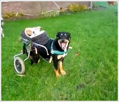 Dogilike.com :: น่ารัก! เจ้าตูบวีลแชร์แบกเพื่อนสุนัขหูหนวกไว้บนหลัง พาเที่ยวไปทุกที่ (มีคลิป)