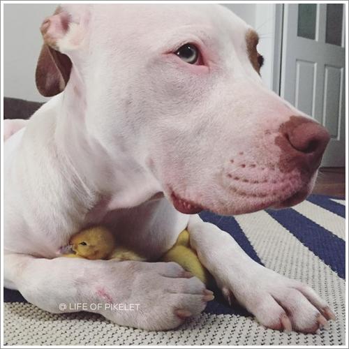 Dogilike.com :: น่าเอ็นดู! 2 ตูบพิทบูลฯ สุดแบ๊วรับเลี้ยงลูกเป็ดกำพร้า