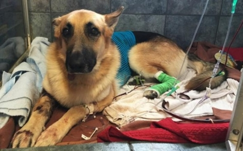 Dogilike.com :: เกินคาด! คนรักสัตว์ร่วมบริจาคเงินกว่า 1 ล้านบาทรักษาสุนัขช่วยชีวิตเด็ก