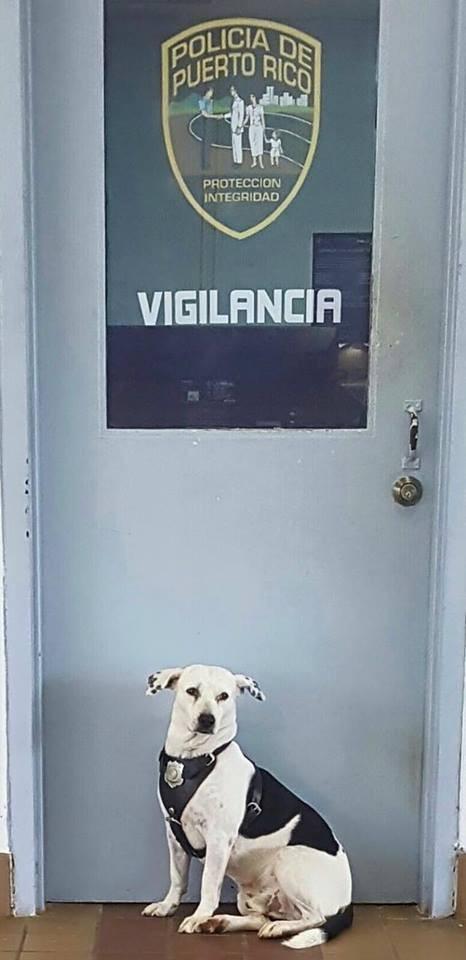 Dogilike.com :: เรื่องราวประทับใจ! เมื่อตูบจรจัดเดินเข้าไปในสถานีตำรวจเปอร์โตริโก