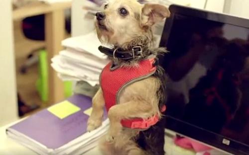 Dogilike.com :: ใครเครียดยกมือขึ้น! คลิปฝูงเจ้าตูบบุกออฟฟิศบำบัดเครียดให้พนักงาน