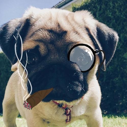 Dogilike.com :: 18 ภาพชวนยิ้ม! เมื่อคู่รักดีไซเนอร์ชอบแต่งรูปเจ้าปั๊กตัวจิ๋ว น่ารักแค่ไหนต้องดู