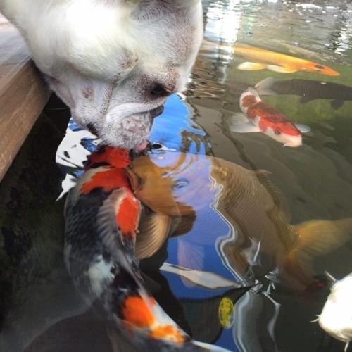 Dogilike.com :: ปิ้งรักปลาคาร์ฟ! เฟรนช์ บูลด็อกวนเวียนบ่อปลา จูบทักทายเพื่อนใต้น้ำ (มีคลิป)