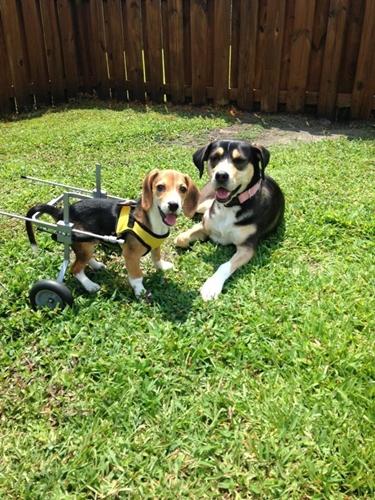 Dogilike.com :: ฝันเป็นจริง! ลูกบีเกิ้ลเดินไม่ได้ถูกรับเลี้ยง พร้อมได้วีลแชร์ช่วยชีวิต