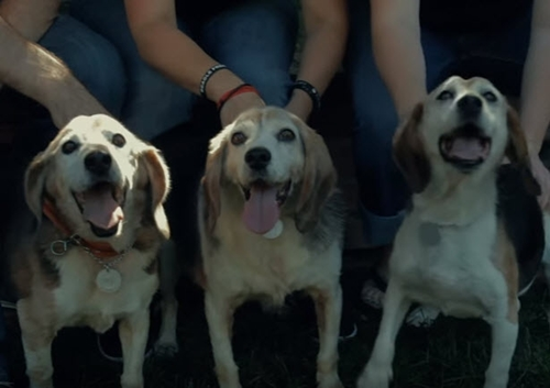 Dogilike.com :: 3 บีเกิ้ลสูงวัยกับ 14 ปีที่ต้องอยู่ในห้องทดลอง วันนี้ได้รับอิสระแล้ว !! (มีคลิป)