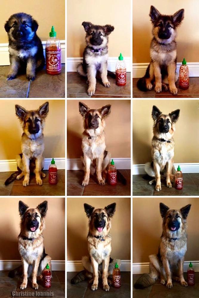 Dogilike.com :: น่ารักสุดๆ! เจ้าของจับน้องหมาถ่ายรูปดูพัฒนาการเทียบกับขวดซอสพริก