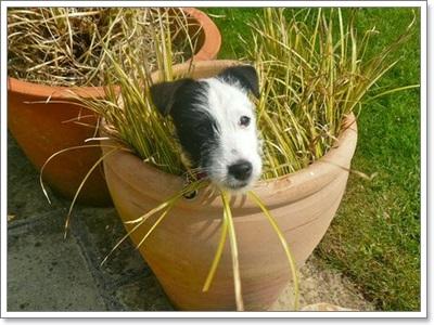 Dogilike.com :: รวมภาพความซนของน้องหมาแจ็ครัสเซลล์