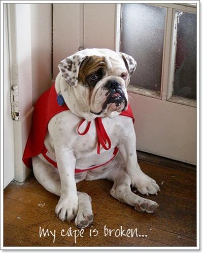 Dogilike.com ::  รวมภาพฮาๆ เมื่อน้องหมาบูลด็อกทำหน้าตลกๆ