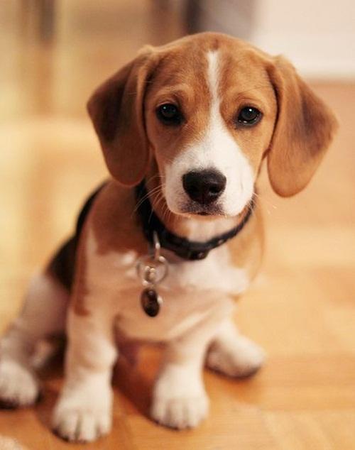 Dogilike.com :: รวมหน้าตาบีเกิ้ลเมื่อทำผิด จะเศร้าหรือขำดีนะ