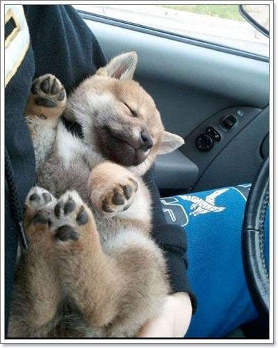 Dogilike.com :: ภาพความน่ารักมุ้งมิ้งของน้องหมา ชิบะ อินุ