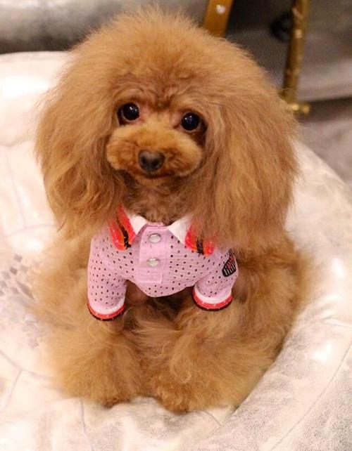 Dogilike.com :: รวมภาพ ทรงขนแบ๊วๆ น่ารักๆ ของน้องหมาพุดเดิ้ลญี่ปุ่น