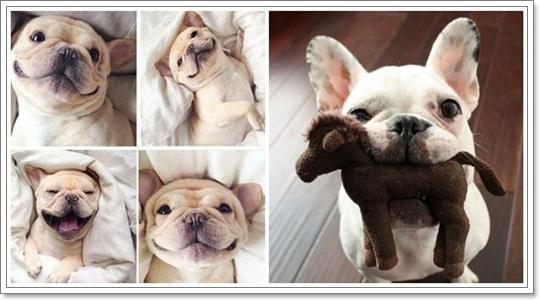 Dogilike.com :: ภาพน่ารักๆ เฟรนช์ บูลด็อก น้องหมาหน้าย่น