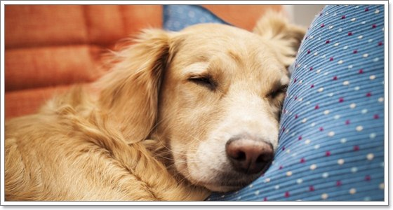 Dogilike.com :: น้องหมาเป็นท้องมาน จะอันตรายมากแค่ไหน