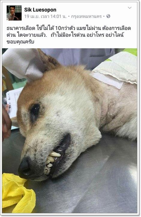 Dogilike.com :: ทำไมสุนัขไปบริจาคเลือดให้กัน แต่กลับนำไปใช้ไม่ได้