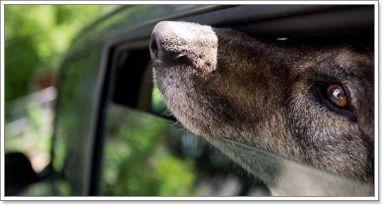 Dogilike.com ::  เตือน!! อย่าทิ้งสุนัขไว้ในรถ แม้แง้มกระจกให้...ก็อาจตายได้