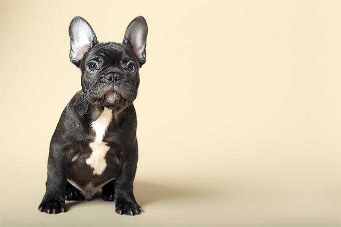 Dogilike.com :: 4 สิ่งที่คนเลี้ยงเฟรนช์บูลด็อกจะต้องเจอ