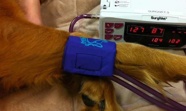 Dogilike.com :: น้องหมาสามารถวัดความดันโลหิตได้ไหมนะ ?
