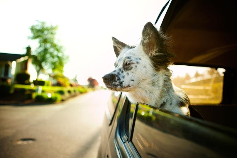 Dogilike.com :: อยากพามาเที่ยวปีใหม่แบบไร้ปัญหา ... มาฝึกหมานั่งรถกัน!!
