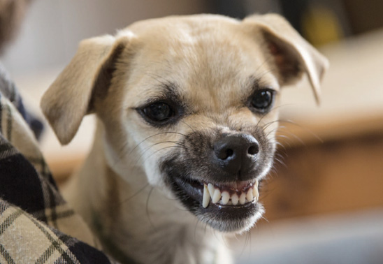 Dogilike.com :: เมื่อหมาหวงชามอาหารจนกัดเจ้าของ ... ปัญหาอยู่ที่ หมา หรือ เจ้าของ?