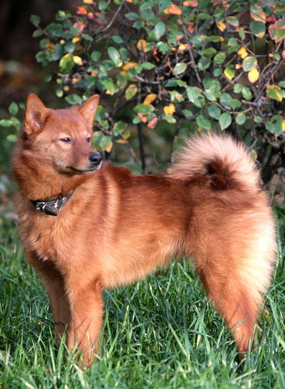 Dogilike.com :: 20 สายพันธุ์น้องหมาหายากของโลก!!!