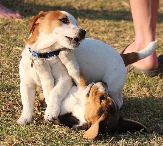 Dogilike.com :: จัดอันดับ 5 คู่สายพันธุ์น้องหมาที่คนชอบเลี้ยงคู่กัน