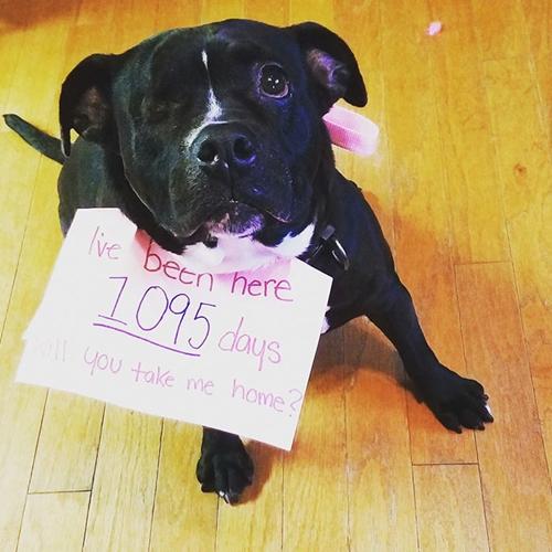 Dogilike.com :: พิทบูลหูหนวกตาบอดใช้ครึ่งชีวิตในศูนย์พักพิงฯ ในที่สุดวันนี้ก็มีบ้านแล้ว !