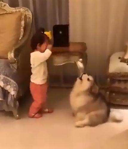 Dogilike.com :: แห่แชร์คลิปน่ารัก! ลูกหมาอลาสกันฯ พยายามปลอบใจหนูน้อยร้องไห้