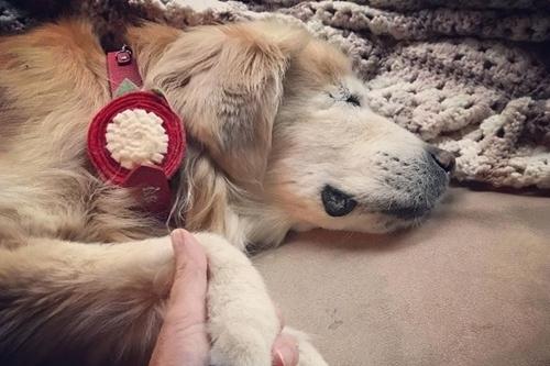 Dogilike.com :: เศร้า! Smiley สุนัขบำบัดตาบอดที่ทำหน้าที่กว่า 12 ปีเสียชีวิตแล้ว