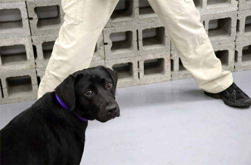 Dogilike.com :: เจ้า Lulu สุนัขสอบตกหลักสูตรดมกลิ่นวัตถุระเบิดของ CIA