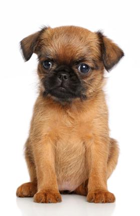 Dogilike.com :: จัดอันดับ 5 สายพันธุ์น้องหมาที่มีใบหน้าตลกตั้งแต่เกิด