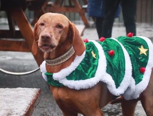 Dogilike.com :: ทุบสถิติโลก! สุนัข 300 ตัวใส่ชุดไหมพรมคริสต์มาส รณรงค์บริจาคเงินช่วยเหลือเด็ก