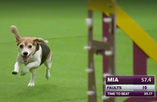 Dogilike.com :: ลีลาน่ารักเมื่อบีเกิ้ลลงแข่งขันในสนาม งานนี้ชนะใจคนทั้งฮอลล์ !!