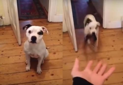 Dogilike.com :: ดูชัด ๆ คลิปเจ้าตูบอยากออกไปวิ่งเล่น เจ้านายสั่งอะไรก็ยอมทำหมด !!