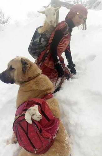 Dogilike.com :: สาวน้อยกับตูบคู่ใจ ช่วยกันแบกแม่แพะและลูกแรกเกิดขึ้นหลังฝ่าหิมะ !!