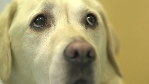 Dogilike.com :: สุนัขดมกลิ่นน้ำตาลในเลือด ช่วยชีวิตเจ้าของป่วยเบาหวาน 3,500 ครั้ง