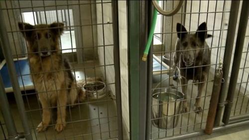 Dogilike.com :: จนท.บุกช่วย 12 สุนัขเยอรมันเชฟเฟิร์ดจากโรงงานผลิตลูกสุนัข !!