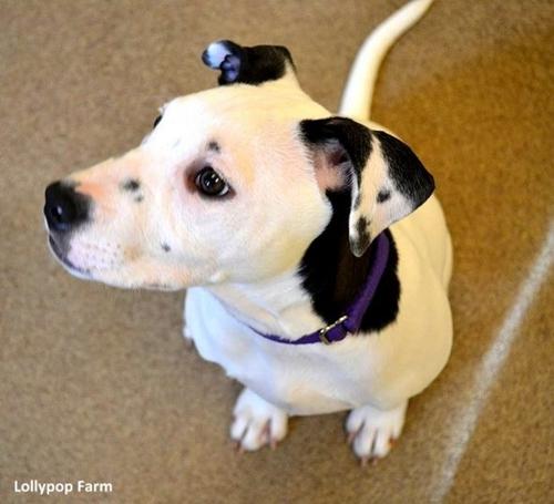 Dogilike.com :: เหมือนเป๊ะ! Lucy น้องหมาที่เกิดมามีลายที่ใบหูเหมือนหน้าตัวเอง