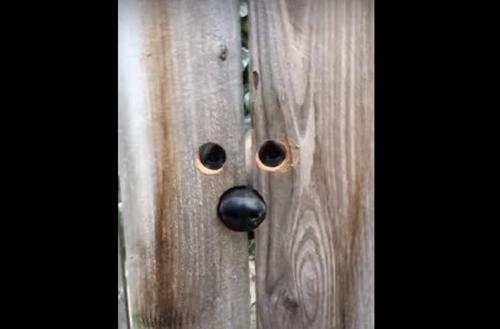 Dogilike.com :: หญิงเจาะประตูรั้วให้ตูบของเพื่อนบ้าน หลังชอบกระโดดแอบมองหมาสาวในบ้าน (มีคลิป)