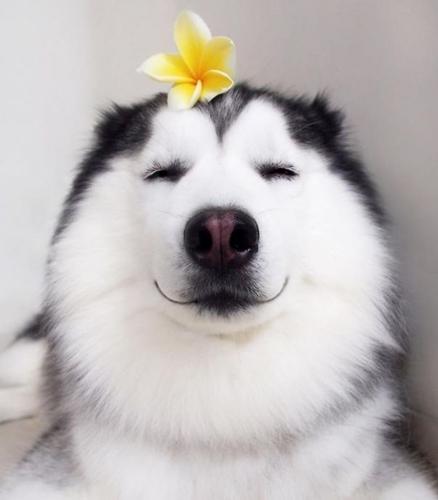 Dogilike.com :: ทำความรู้จัก Maru ไซบีเรียน ฮัสกี้ที่มีความสุขที่สุดในโลก !!