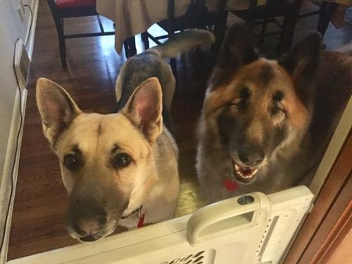 Dogilike.com :: เพื่อนแท้! สุนัขแสนรู้คอยดูแลเพื่อนตูบตาบอด ไปที่ไหนต้องไปด้วยกันเสมอ