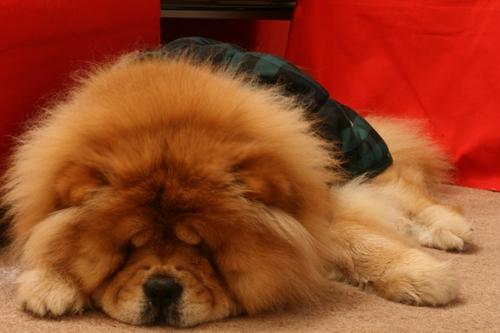 Dogilike.com :: จัดอันดับ 5 สายพันธุ์น้องหมาขี้เซา ปลุกเท่าไหร่ไม่อยากตื่น!!