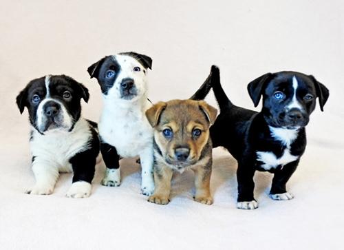Dogilike.com :: น่าเอ็นดู! พลเมืองดีช่วยชีวิตลูกสุนัขจรจัด พบเอกลักษณ์พิเศษที่หัวโตและขาสั้น
