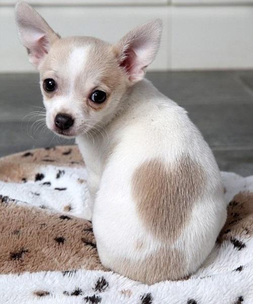 Dogilike.com :: รวมภาพน้องหมา 6 สายพันธุ์ขนสั้น ที่คนไทยนิยมเลี้ยง