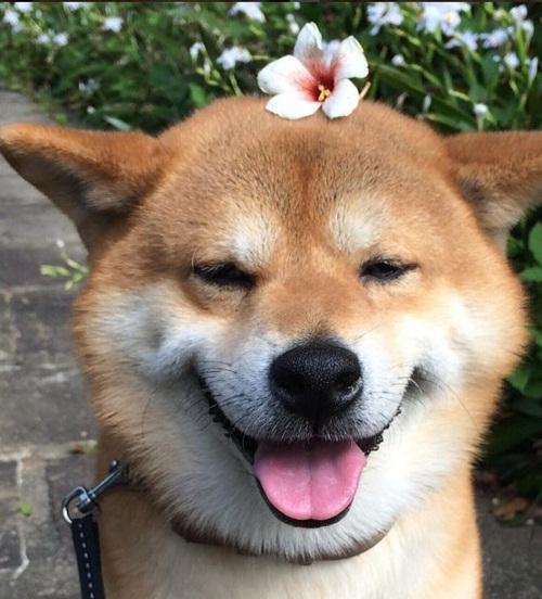 Dogilike.com ::  รวมภาพน้องหมาชิบะ อินุ ทำหน้าตลก ดูแล้วต้องยิ้มตาม
