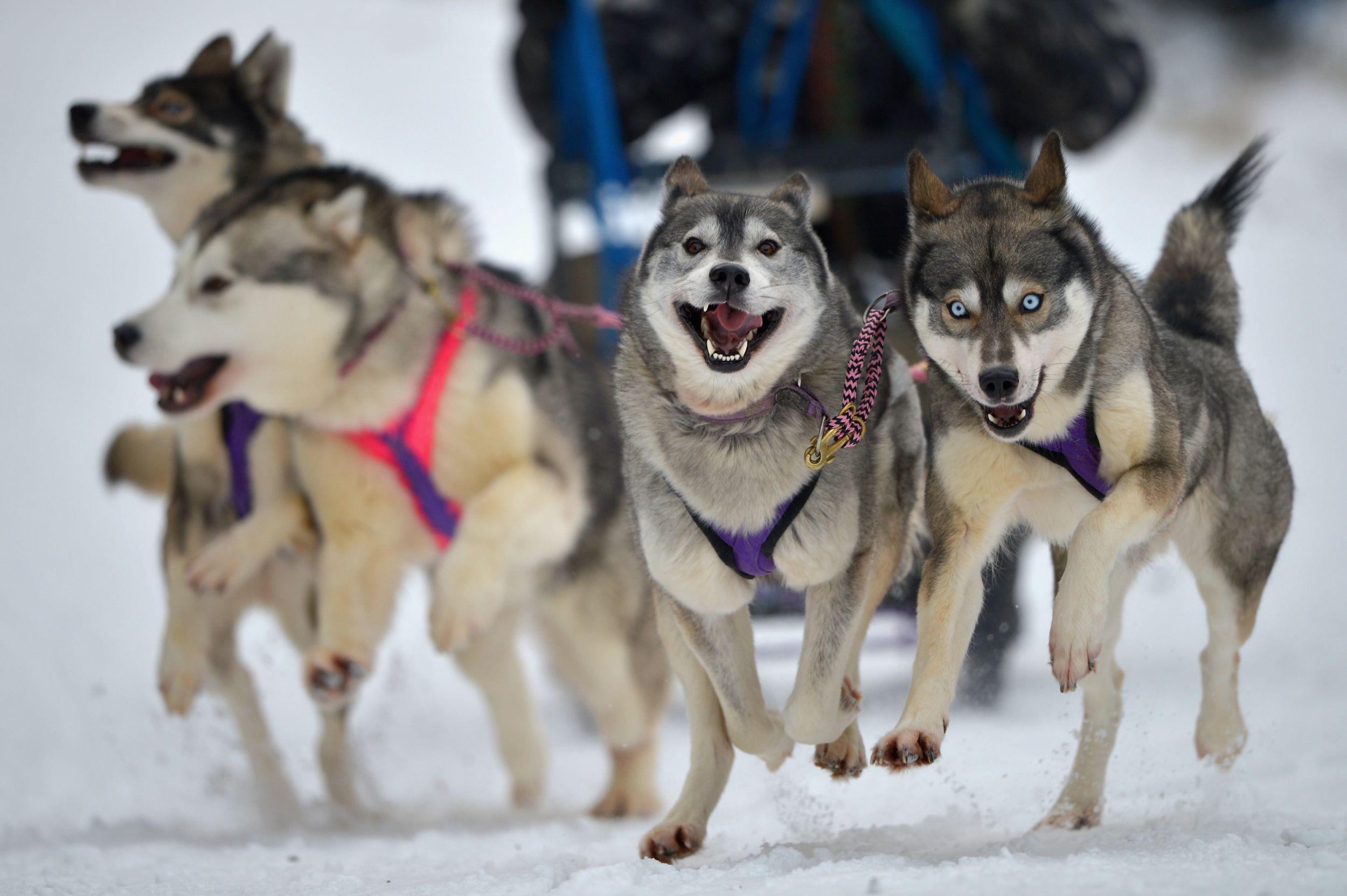 Dogilike.com :: รวมภาพน้องหมาลากเลื่อนสุดเท่