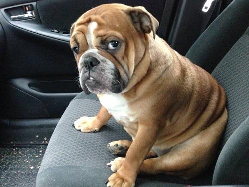 Dogilike.com :: ขำได้นะ! รวมภาพน้องหมาหน้าบึ้ง