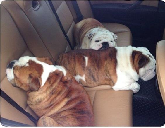 Dogilike.com :: รวมภาพน้องหมาสายย่น ฮาแต่น่ารักเฟ่อ