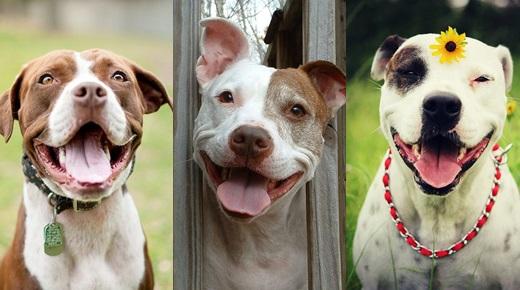 Dogilike.com :: รวมภาพรอยยิ้มหวานๆ ของพิทบูล