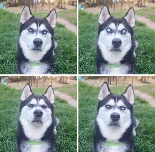 Dogilike.com :: รวมภาพฮาๆ เมื่อไซบีเรียนเป็นหมาตลก